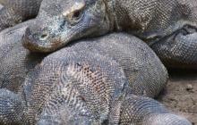 Iles de Rinca et de Komodo : Observation des dragons