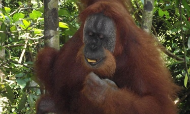 North Sumatra : orang utan, elephants and local culture