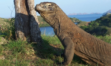 Komodo cruise and dragons!
